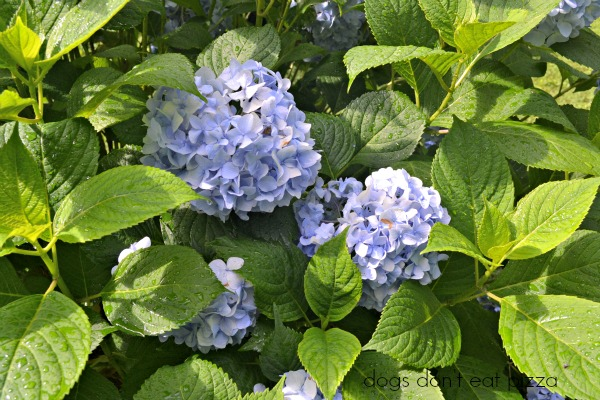 hydrangea blooms - after the rains - Dogs Don't Eat Pizza
