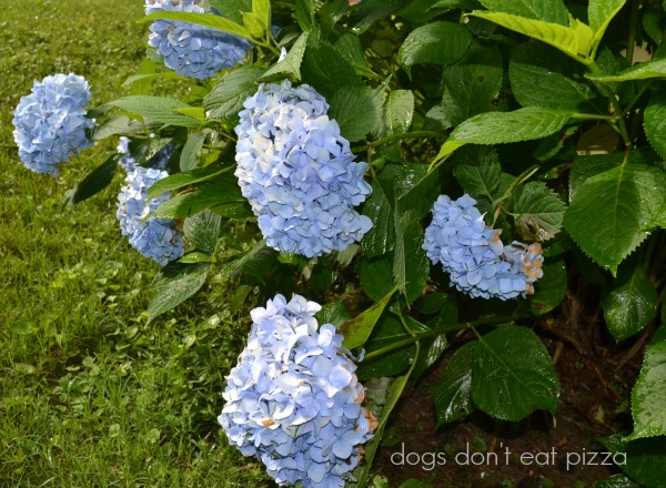 hydrangea - after the rains - Dogs Don't Eat Pizza