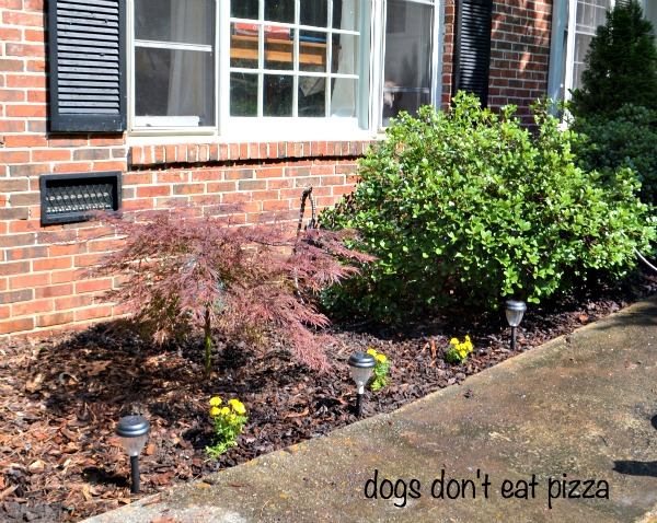 Japanese-maple-marigolds - Dogs Don't Eat Pizza