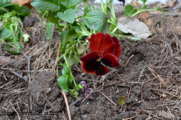 pansy to add fall color - Dogs Don't Eat Pizza