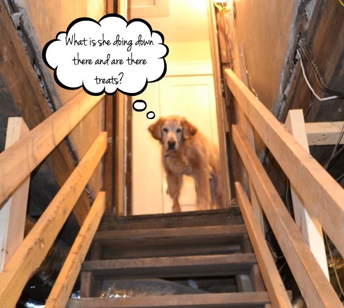 Hank waiting patiently as I organize the unfinished basement - thediybungalow.com